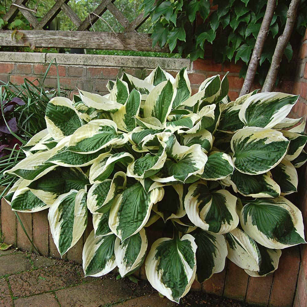 Hosta Hosta Varieties More White Flower Farm