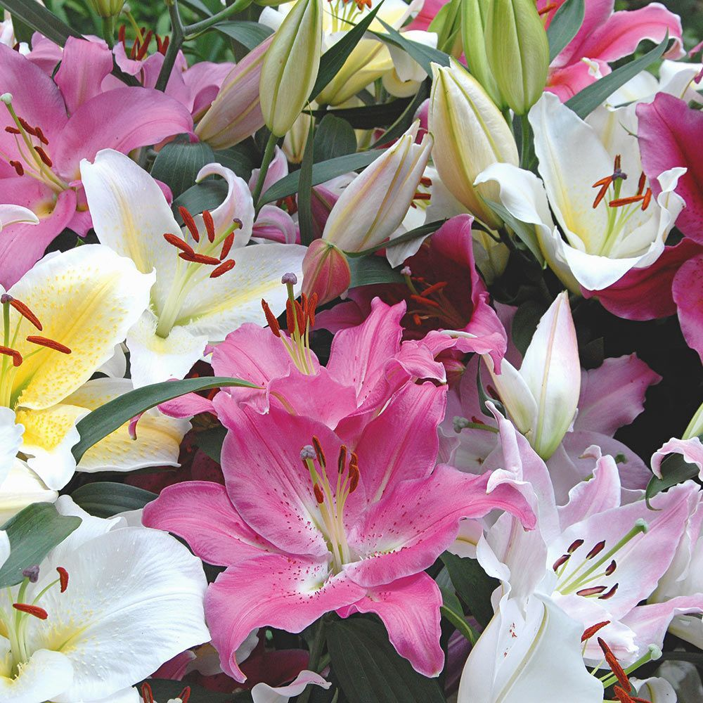 Lilies lily flowers lily bulbs lily gardens more white flower lilies izmirmasajfo