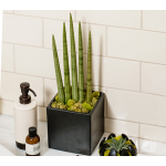 Metropolis  African Spear Plant in Black Square