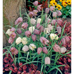 Fritillaria meleagris Mixture