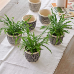 Lemon Button Fern Trio in Togo Pots