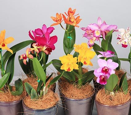 Exclusive Cattleya Orchid Grower S Choice White Flower Farm