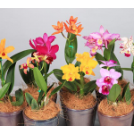 Exclusive Cattleya Orchid, Grower's Choice