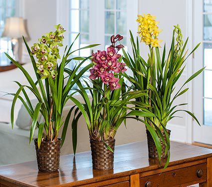 Exclusive Cymbidium Orchid, Grower's Choice