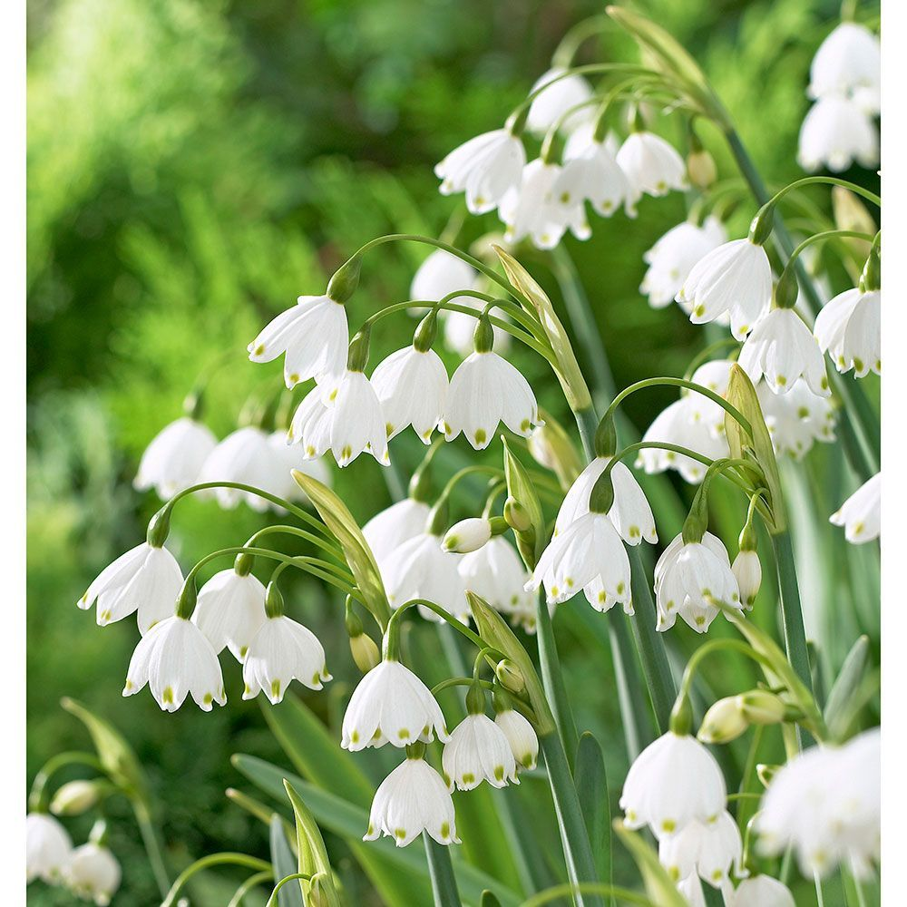 Snowbell Flowers Snowbell Bulbs More White Flower Farm