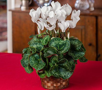 Cyclamen Halios® Pure White in woven basket