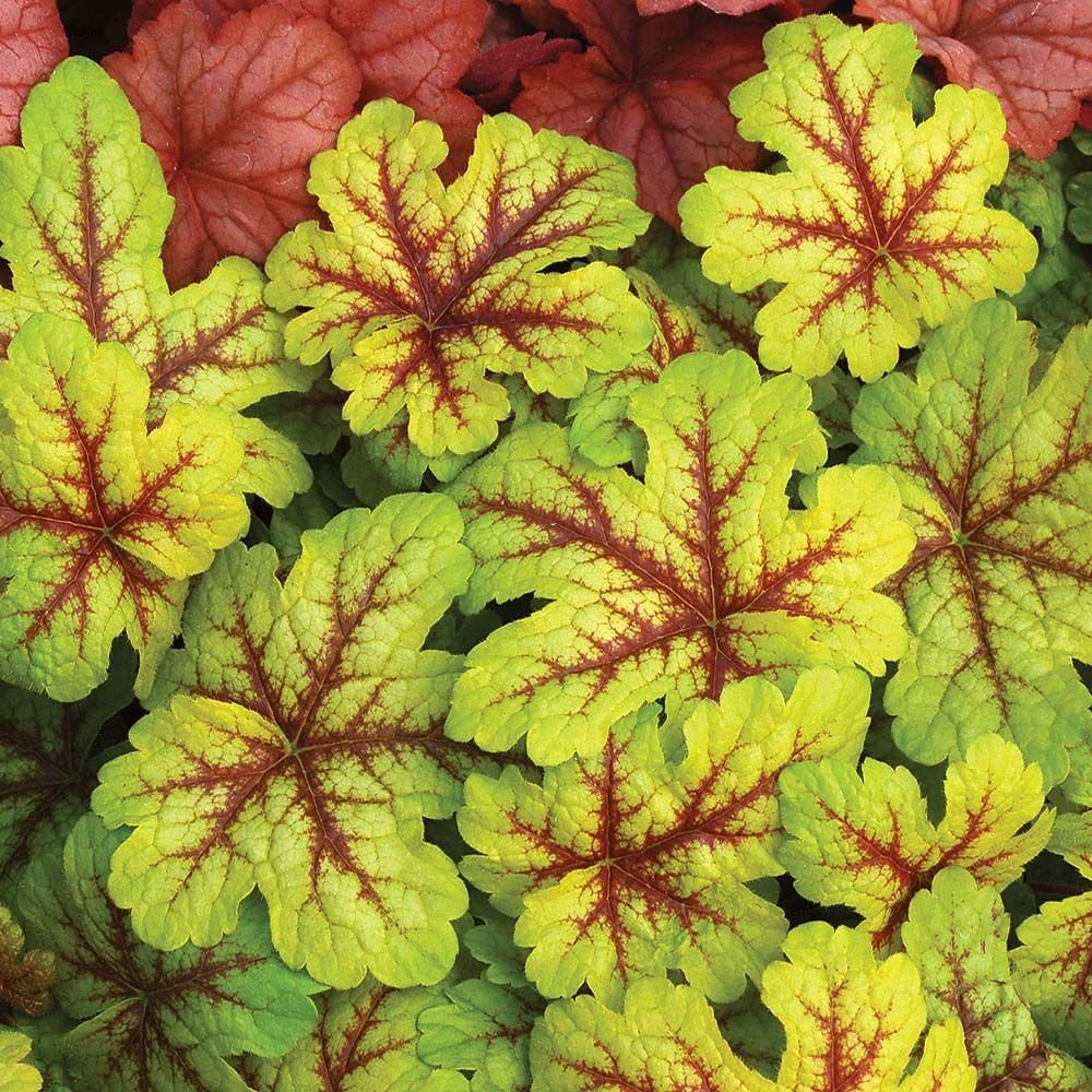 x Heucherella 'Alabama Sunrise'
