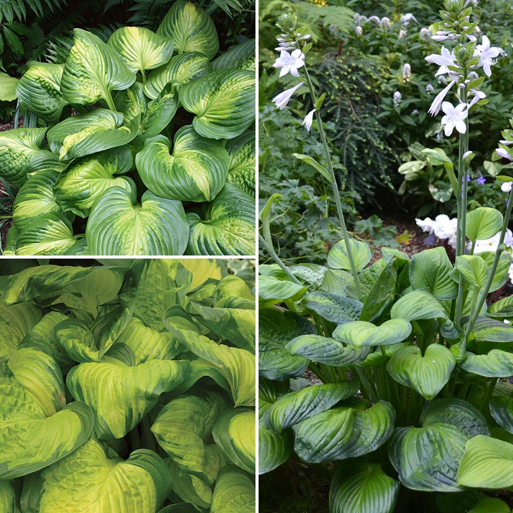 Fragrant Hosta Collection