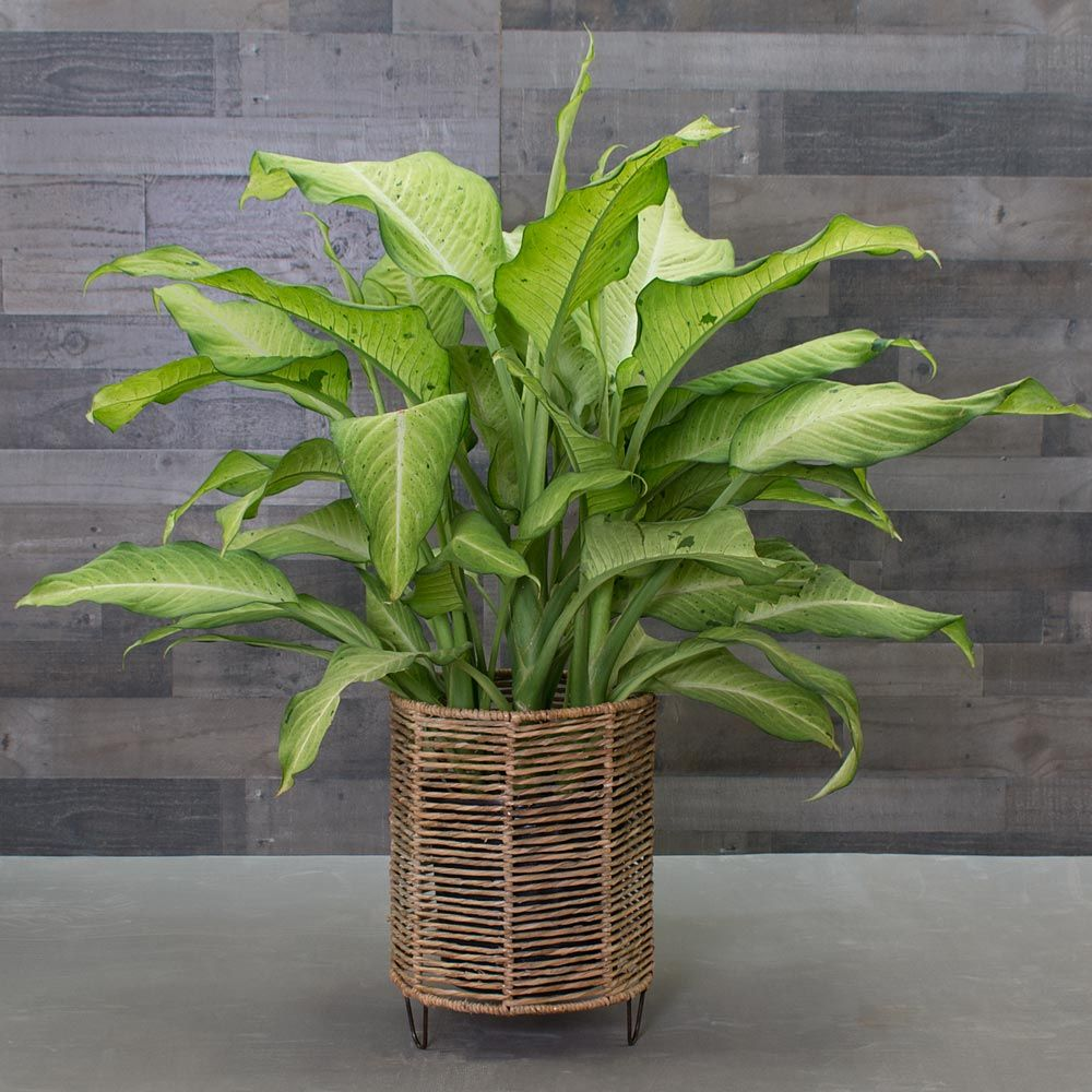 ffenbachia 'Camouflage' on house slugs, house decorations, house vines, house flowers, house fire, house home, house mites, house nature, house design, house people, house crafts, house family, house gifts, house plans, house rodents, house cars, house candy, house ferns, house chemicals, house stars,