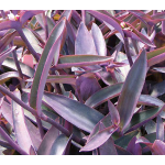 Tradescantia pallida Purple Queen