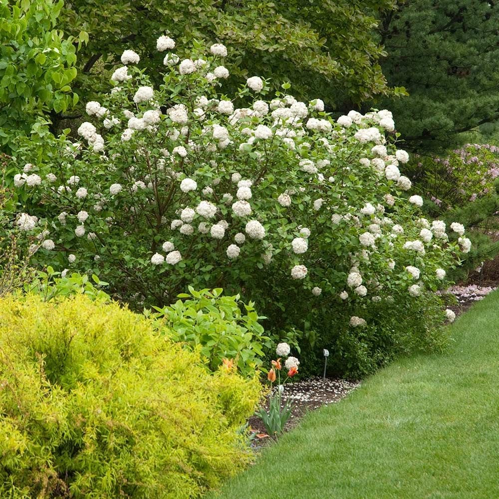 Viburnum White Flower Farm