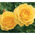 Customer-Favorite Roses