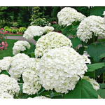 Proven Winners® Shrubs & Vines