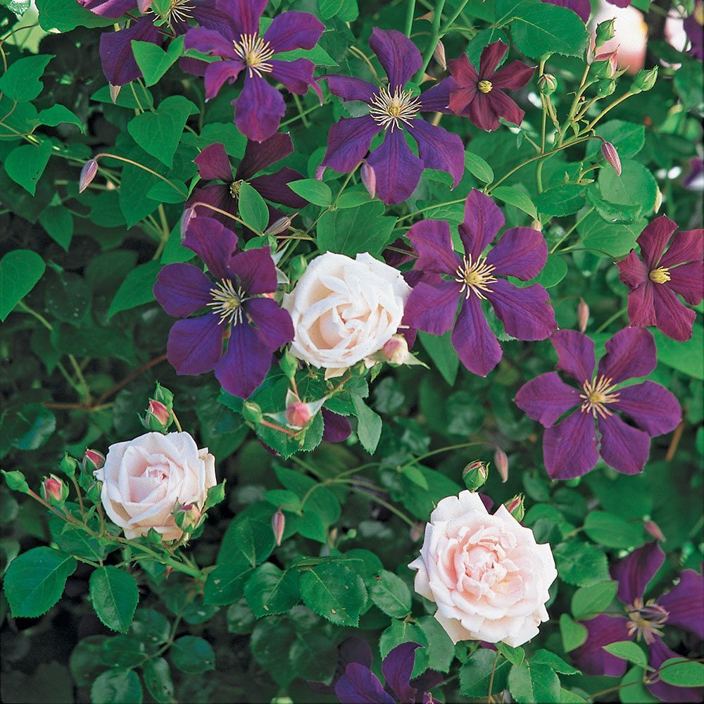 Rose clematis collections white flower farm rose clematis collections mightylinksfo