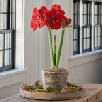 Amaryllis 'Magical Touch'