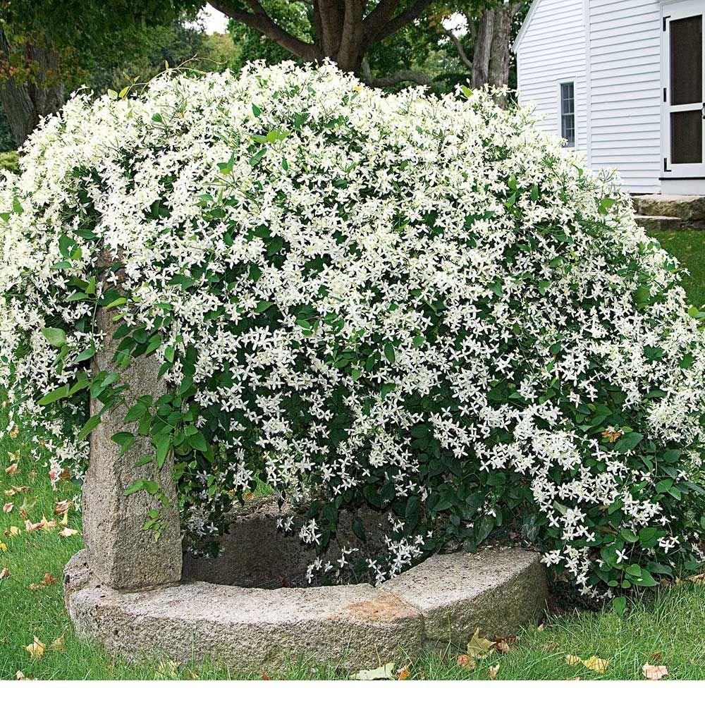 Clematis White Flower Farm