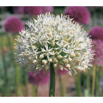 Web-Only Bulb Varieties