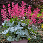 Heuchera Dolce® 'Spearmint'