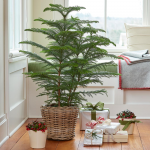 Norfolk Island Pine in baskets