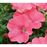 Petunia Supertunia® Bermuda Beach