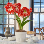 Red & White Amaryllis