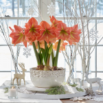 Amaryllis 'Terracotta Star'