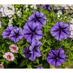 Petunia  Suncatcher™ Blue Burst