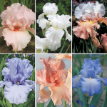 Pastel Beauties Bearded Iris Collection - 6 plants