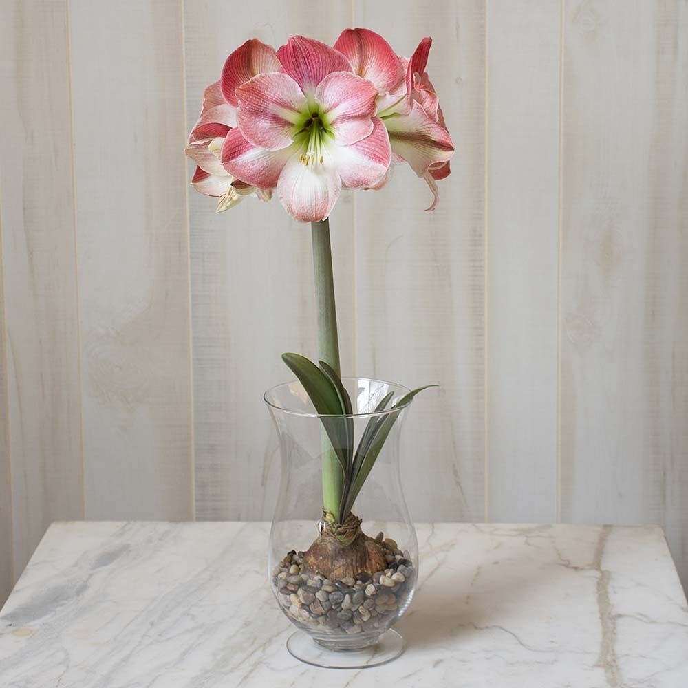 Amaryllis 'Apple Blossom,' one bulb, hurricane vase, and river pebbles