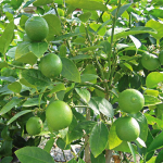Key Lime with Citrus Fertilizer