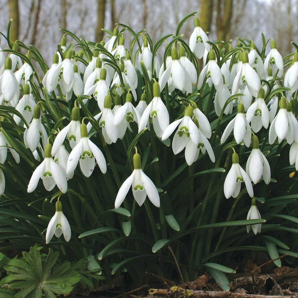 Galanthus Nivalis White Flower Farm