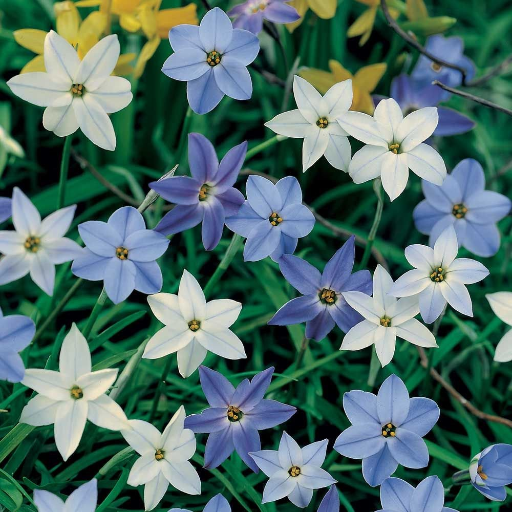 Ipheion a constellation of blue stars white flower farm ipheion a constellation of blue stars izmirmasajfo