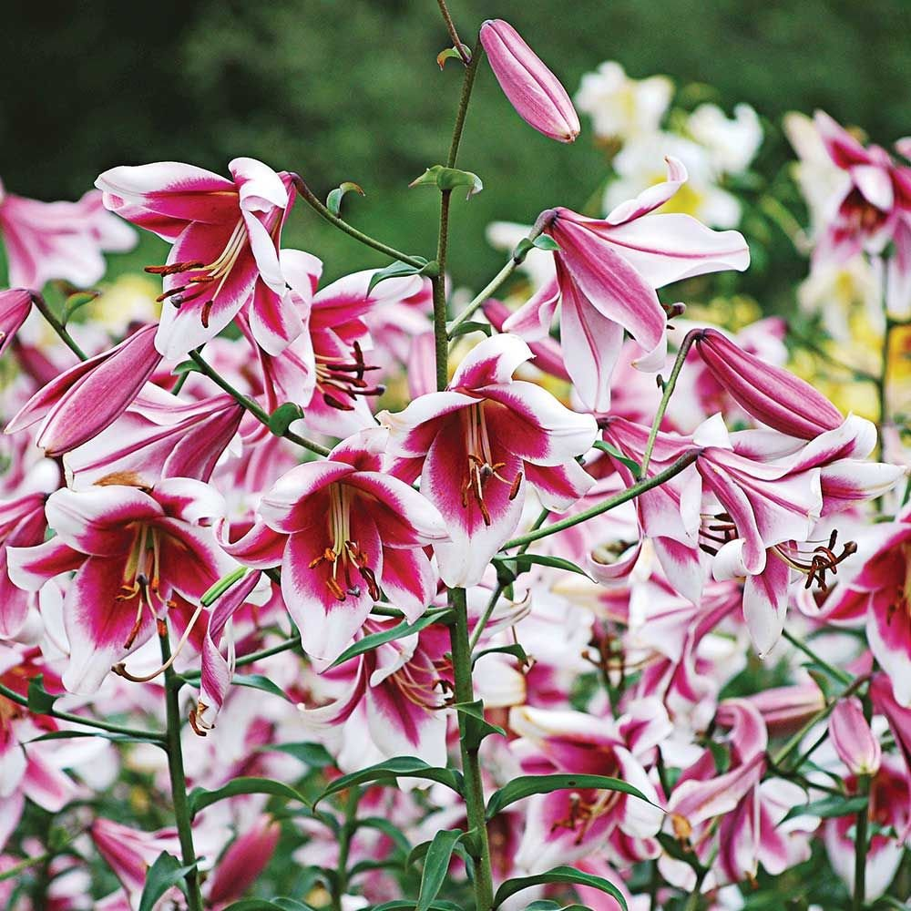 Lilium Silk Road White Flower Farm