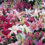 Strawberries and Cream Asiatic Lilium Mixture