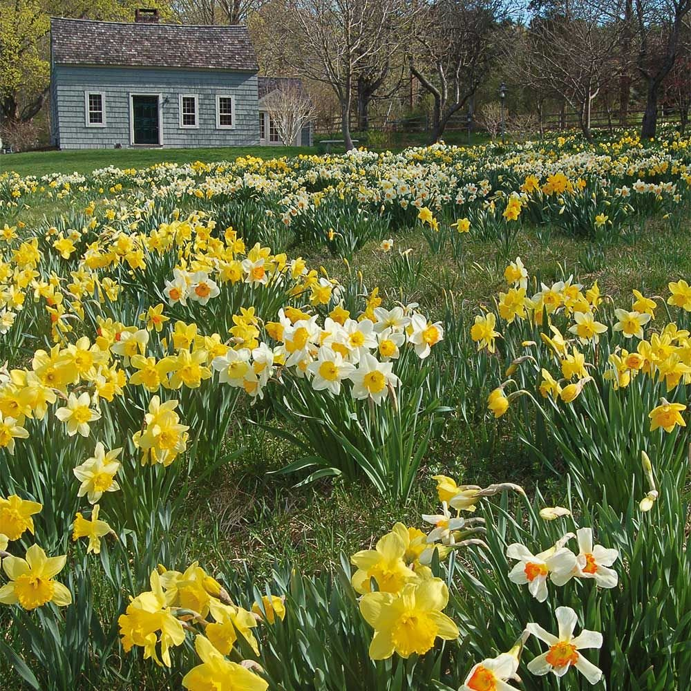 Professionals Naturalizing Daffodil Mix White Flower Farm
