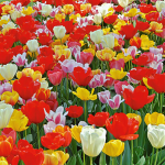 Next Generation Perennial Tulip Mix