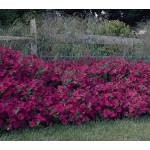 Petunia Tidal Wave® Hot Pink