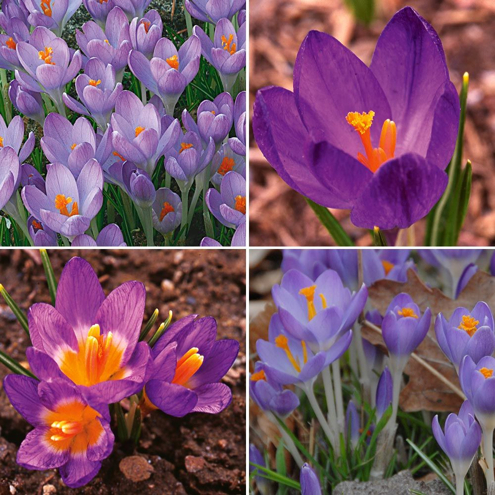 Squirrel-Resistant Crocus Mix