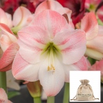 Amaryllis 'Apple Blossom,' one bulb in linen bag