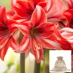 Amaryllis 'Pajama Party,' one bulb in linen bag