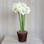 Amaryllis 'Alfresco,' one bulb in a woven basket