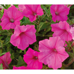 Petunia Supertunia® Vista Bubblegum
