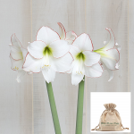 Amaryllis 'Picotee,' one bulb in linen bag