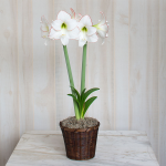 Amaryllis 'Picotee,' one bulb in a woven basket