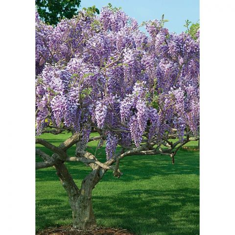 Wisteria 'Caroline' Tree Form