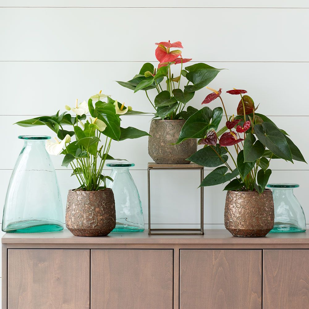 Anthuriums in terracotta cachepots