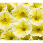 Petunia Supertunia® Limoncello