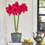 Amaryllis 'Pleasure'