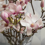 Tulip Magnolia Flowering Branches