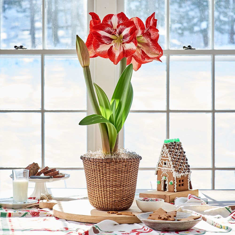 Shop Amaryllis Gifts White Flower Farm